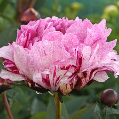 fawn herbaceous peony