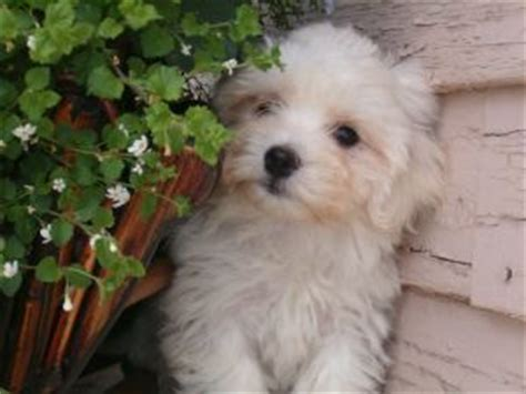 havanese puppies for sale in louisiana miniature dachshund puppies for sale in louisiana breeds picture