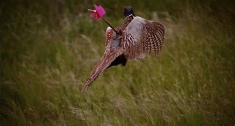how to a to bird hunt bowhunting pheasants the basics explained