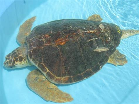 boat propeller injury photos another sea turtle with boat propeller injury picture of