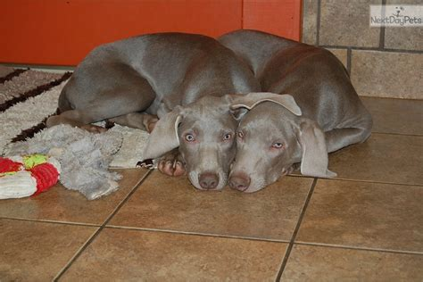 weimaraner puppies for sale in nc weimtime weimaraner puppy for sale near greensboro carolina 389e5e37 b381