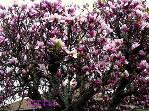 japanese magnolia tree pictures to pin on pinterest pinsdaddy