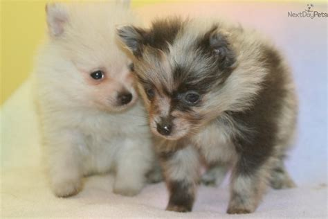 blue merle teacup pomeranian puppies for sale pomeranian puppies on merle pomeranian puppy breeds picture