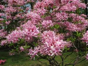 fragrant pink flowering tree anyone know this one