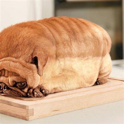 bread pug image gallery pug bread