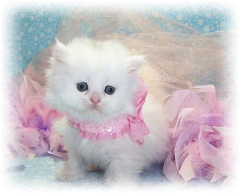 cute persian kitten pictures  images