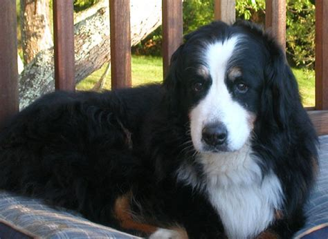 allegra for dogs santera kennel bernese mountain national special announcements