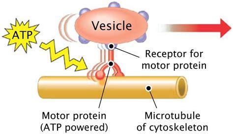 motor protein function neuron organelles diagram neuron biology diagram elsavadorla