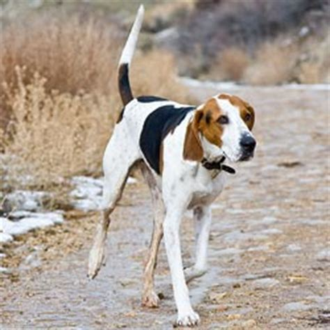 treeing walker coonhound puppies for sale treeing walker coonhound puppies for sale from reputable breeders