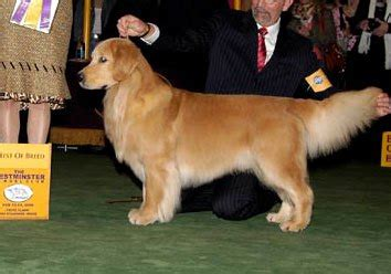 chuckanut golden retrievers liguori no respect for golden retrievers at westminster 171 cbs new york