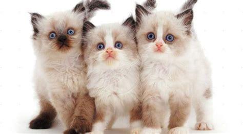tokopedia hewan 13 ras kucing paling menggemaskan kamu mau pelihara yang