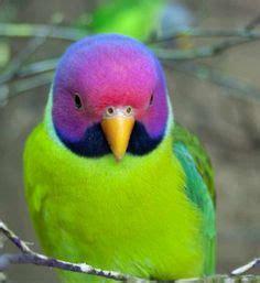 parrocchetto testa di prugna parrocchetto testa di prugna plum headed parakeet