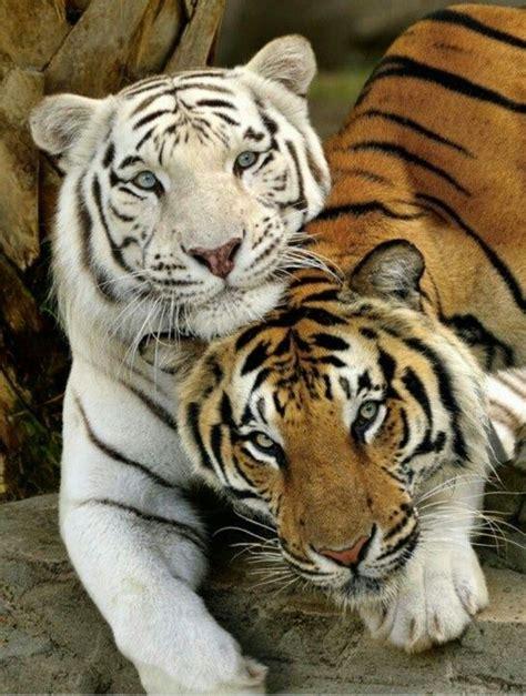 fotos animales tigres m 225 s de 10 ideas fant 225 sticas sobre tigres en pinterest