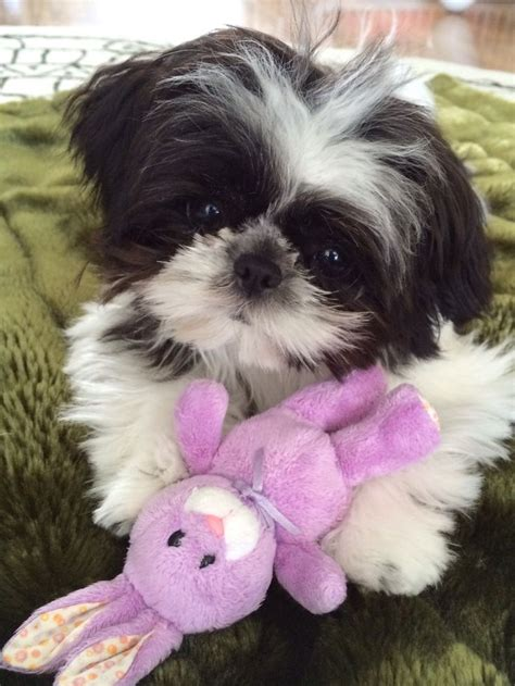 how to look after a shih tzu puppy 25 best ideas about shih tzu on shih tzu shih tzu puppy and baby