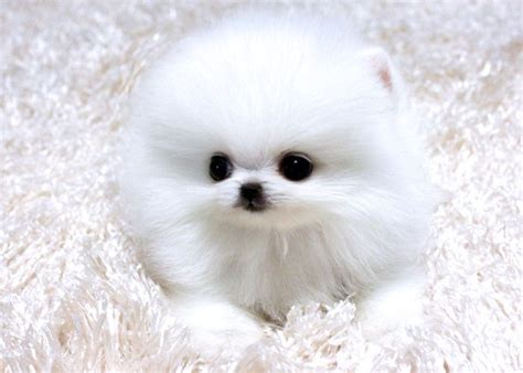 tiny teacup pomeranian 25 best ideas about pomeranian puppies for free on teacup pomeranian