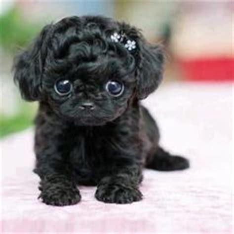 teacup black pug teacup pugs on teacup pug pug and black babies