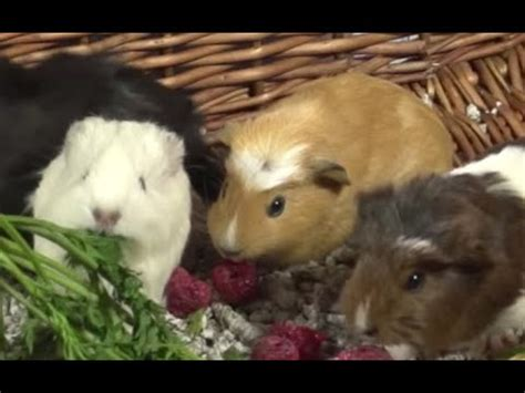 vegetables guinea pigs can eat guinea pigs what vegetables and fruits can guinea pigs