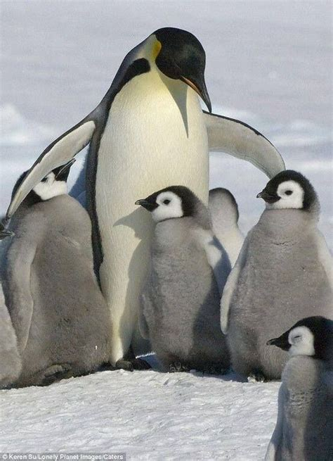 Pinguin Top 668 best images about penguins for on baby penguins penguin and