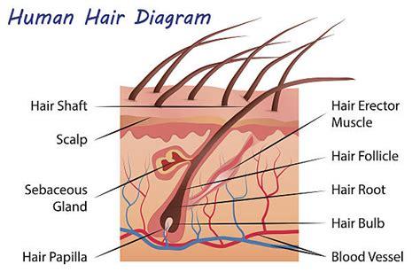 cross section of hair follicle diagram hair follicle hair restoration experts since