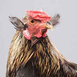 chicken breeds araucana