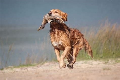 sarasota golden retriever puppies 101 brown names pethelpful