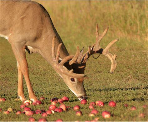 deer apples deer talk now how to plant fruit trees for deer deer