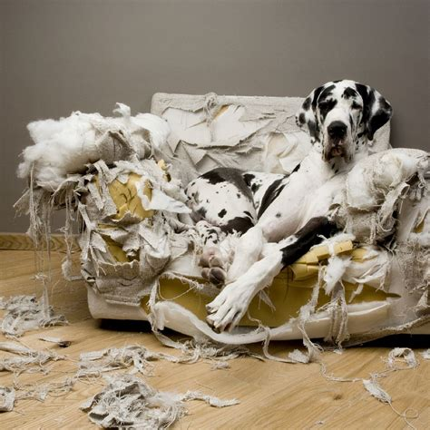 dog chewing couch how to relieve anxiety in your pup dogvacay official blog