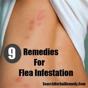 home remedies for fleas 9 flea infestation home remedies treatments