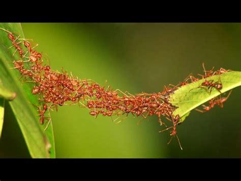ants making bridge, team work youtube