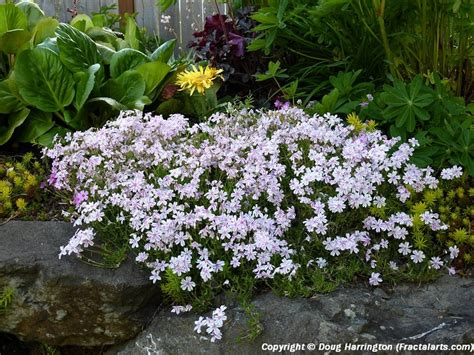 Rock Garden Perennials 17 Best Images About Ground Covers On Pinterest Spreads Ground Cover Roses And Zone 4 Perennials
