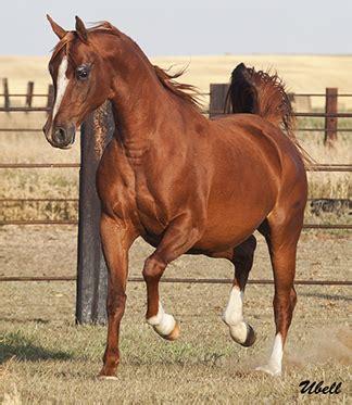 arabianhorses.org arabian horses