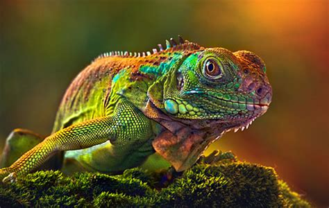 do iguanas change color true in if it works for them