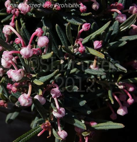 plantfiles pictures andromeda bog rosemary common bog