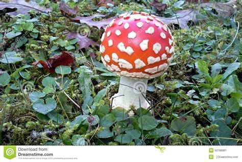 Psychoactive Also Search For Amanita Muscaria Stock Photography Cartoondealer 49129964