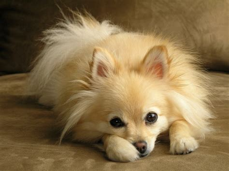 pomeranian breed history 5 things you didn t about pomeranians