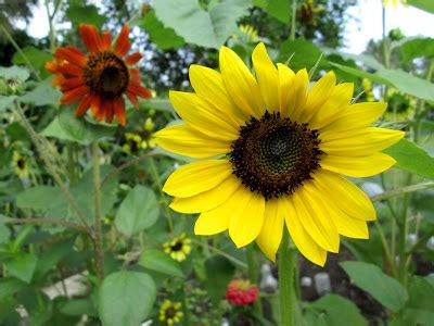 Bibit Bunga Matahari Kecil cara menanam bunga matahari dengan benar dan tepat jual