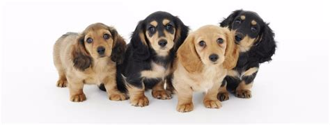dachshund colors dachshund puppies color and pattern