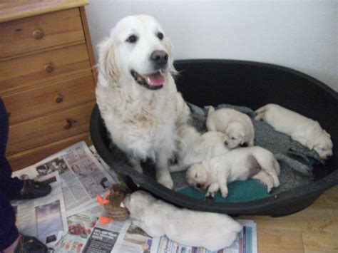 golden retriever puppies for sale in wiltshire golden retriever puppies chippenham wiltshire pets4homes