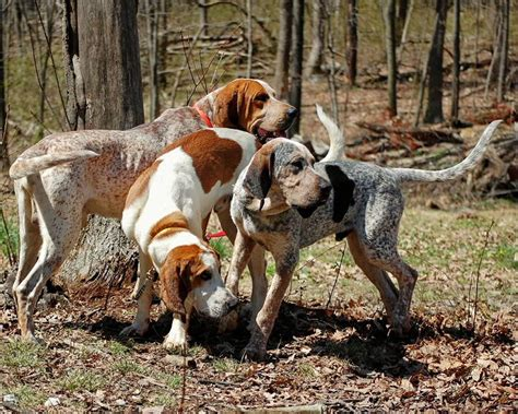 English Coonhound dogs in the forest photo and wallpaper ...