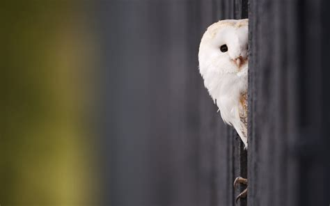 white owl wallpapers hd wallpaperwiki