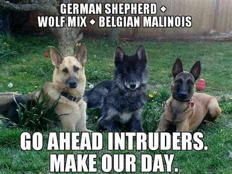 belgian malinois german shepherd mix german shepherd wolf mix and a belgian malinois shepherd wow gorgeous although i