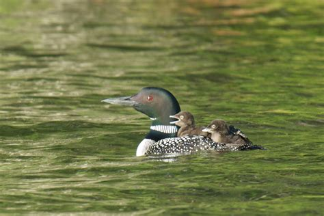 new minnesota boating laws boaters urged to avoid loon chicks new england boating