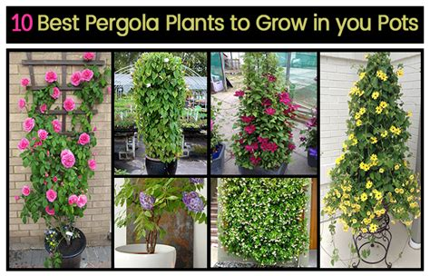 10 Tips On Growing Great Plants This Summer by Top 10 Pergola Plants To Grow Your Pots Home Gardeners