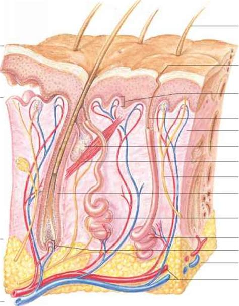 vertical section of human skin sectioned sebaceous human anatomy guws medical