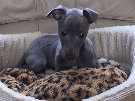 blue greyhound puppies for sale italian greyhound puppy for sale italian greyhound for sale uk breeds picture