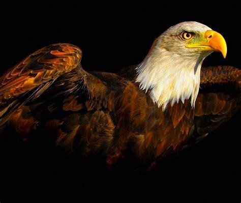 wallpaper 4k eagle eagle 4k laptop backgrounds and wallpaper hd wallpapers