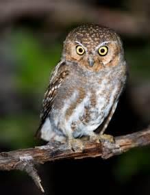 elf owl facts what do elf owls eat where do owls live