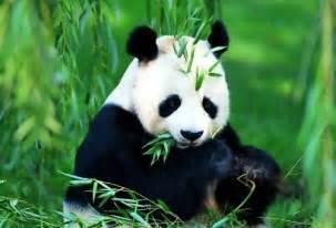 foto gambar panda lucu 4 lu kecil