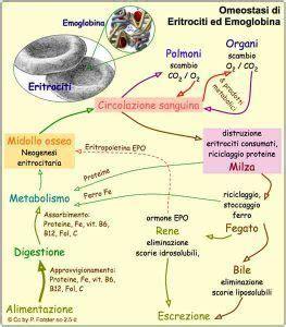 ferritina alta alimentazione ferritina la proteina responsabile deposito ferro