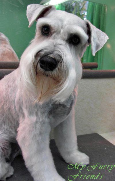 best 25 schnauzer cut ideas on pinterest schnauzer best 25 schnauzer grooming ideas on pinterest miniature